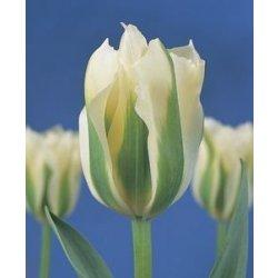 Tulipány prodej