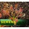 Semena   Drosera intermedia - Rosnatka prostřední