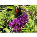 Motýlí keř, komule Davidova 'Black Knight' - Buddleia davidii Black Knight