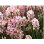 Semínka levandule - Lavandula angustifolia - Levandule lékařská růžová SPECIÁL - prodej semen - 15 ks