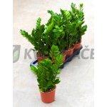 Zamioculcas zamiifolia 14x40cm