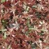 Umělý živý plot RED HEMP, dílec 50 x 50 cm