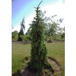 Picea omorika Pendula Bruns - Převislý smrk