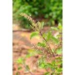 Salvia Paradise Bazalka posvátná - Tulsí semena