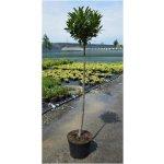 Prunus laurocerasus Otto Luyken - bobkovišeň na kmínku