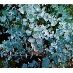 Blahovičník Gunnův - Eukalyptus guni (Eucalyptus gunnii) semena eukalyptu - 10 ks S0106