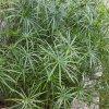 Šáchor - Papyrus střídavolistý - Cyperus alternifolius - prodej semen papyrusu - 10 ks