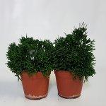 Hatiora bambusoides 12x20cm