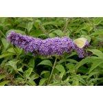 Motýlí keř, komule davidova 'Orchid Beauty' - Buddleia davidii Orchid Beauty