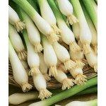 Cibule Bajkal sečka zimní - Allium cepum - prodej semen cibule - 0,8 g
