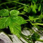 Ženšen pětilistý - Jiaogulan - semena ženšenu - 7 ks
