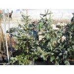 Smrk pichlavý 'Hoopsii' - Picea pungens Hoopsii