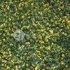 Umělý živý plot BUXUS VG, dílec 50 x 50 cm (Žlutě panašovaný zimostráz)
