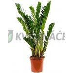 Zamioculcas zamiifolia 21x80cm