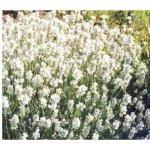 !n Levandule lékařská Ellegance Snow - Lavandula angustifolia - semena - 15 ks