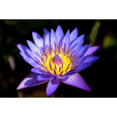 LEKNÍN TMAVĚ MODRÝ NYMPHAEA DARK BLUE /10 SEMEN/ - Nymphaea Capensis