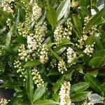 Prunus laurocerasus Otto Luyken - bobkovišeň