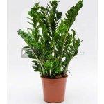 Zamioculcas zamiifolia 24x110cm
