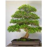 Jilm čínský - semena Bonsají - Ulmus parvifolia - 5 ks