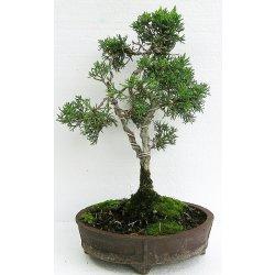 bonsai - jalovec čínský (juniperus rigida) 393
