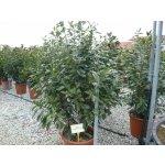 Bobkovišeň lékařská 'Novita' - Prunus laurocerasus Novita