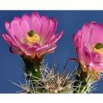 Semena kaktusů - Echinocereus reichenbachii - růžová barva -semena - 8 ks