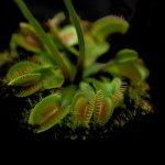 Dionaea muscipula | Mucholapka podivná | dospělá rostlina