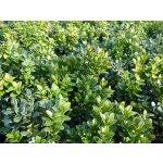 Zimostráz obecný 'Blauer Heinz' - Buxus sempervirens Blauer Heinz