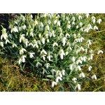 Sněženka podsněžník - Galanthus nivalis