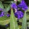 Ořechokřídlec 'Heavenly Blue' květináč 2litry