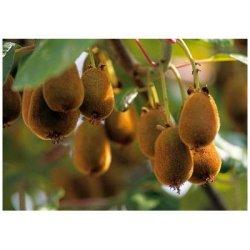 Semínka minikiwi - Actinidia arguta - Minikiwi - prodej semen - 5 ks