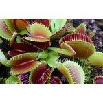 Dionaea muscipula | Mucholapka podivná | 2 dospělé rostliny