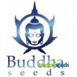Buddha Seeds - Medikit auto CBD 3 ks