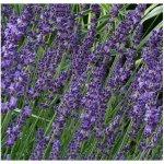 Semínka levandule - Lavandula angustifolia - Levandule lékařská - prodej semen - 130 ks