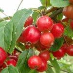 Malus ´Red Sentinel´ - Okrasná jabloň