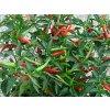 chilli-semena Thai Dragon Chilli