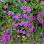 Verbena - Sporýš lékařský - rostlina Verbena officinalis - prodej semen - 0,5 gr