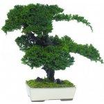 Procumbens bonsai