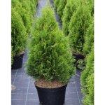Thuja occidentalis Smaragd - Tuje- zerav -pro živé ploty