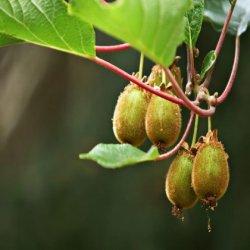 Minikiwi Issai (rostlina: actinidia arguta Issai) - semena minikiwi 7 ks