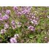 Thymus doerfleri 'Bressingham' - mateřídouška