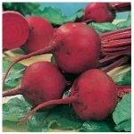 Bio řepa červená Detroit 2 - Beta vulgaris var. vulgaris - semena - 50 ks