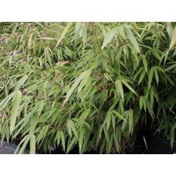 Bambus Fargesia Rufa Alternativy Heureka Cz