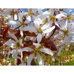 Amelanchier arborea - Muchovník