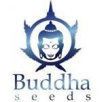 Buddha Seeds White Dwarf Autoflowering 3 ks