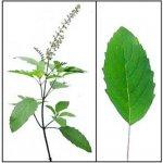 Bazalka posvátná - Tulsi - semena cca 120ks