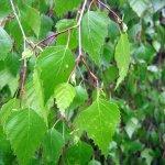 Betula pendula Youngii - převislá bříza