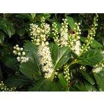 Bobkovišeň lékařská 'Caucasica' - Prunus laurocerasus Caucasica