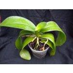 Orchidej pro začátečníky - Phalaenopsis