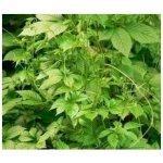 Ženšen pětilistý - semena Ženšenu - 7 ks - Jiaogulan